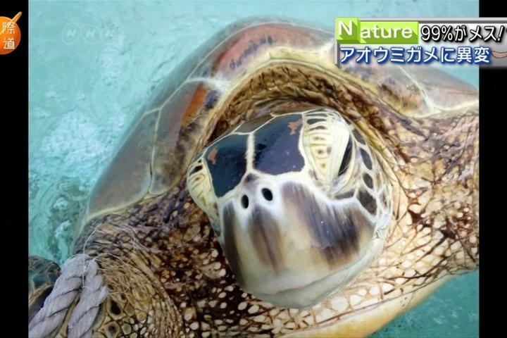 全球暖化爆生態危機 澳洲驚見海龜女兒國