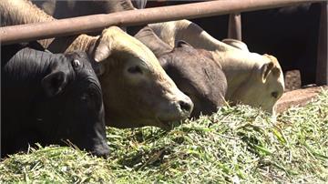 金門牛隻有救了!歐盟捐贈1萬劑牛結節疹疫苗抵達