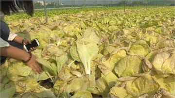 疫情衝擊雲林農業 菜園耕鋤沒收入還賠本