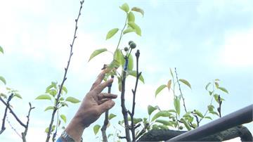 「暖冬、雨少」水梨不開花  1公頃果園補助6萬元