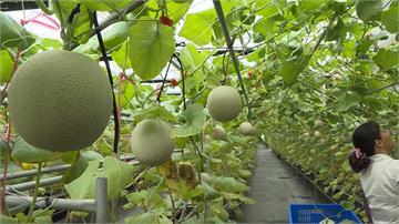 品質不輸日本哈密瓜!青農嬌養洋香瓜 溫室吊掛栽種