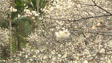 秘境中的秘境!南投私藏梅園花季大爆發