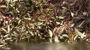 為茶葉「留香」!茶改場研發出茶香面膜與香露