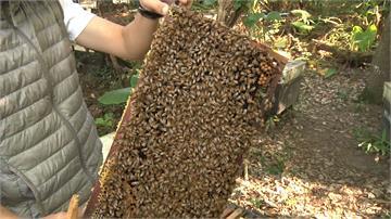 蜜蜂不只產蜂蜜!青農萃取蜂毒搶攻美妝生技