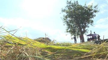 不惜一切和「金城武樹」合照 遊客踩爛稻田