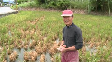 綠油油變成焦黃一片!玉里、池上農田頻傳稻熱病