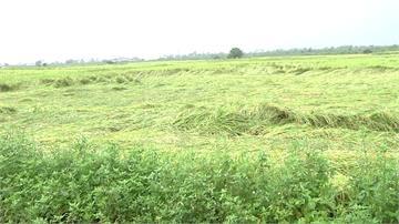 大雨毀心血!台東農田倒伏難採收 農民叫苦連天