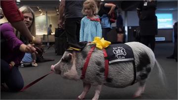 舒緩旅客壓力 舊金山機場「小豬」治療師超萌