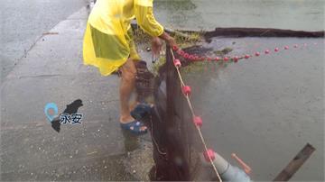 不怕淹水魚流光!永安養殖戶有撇步