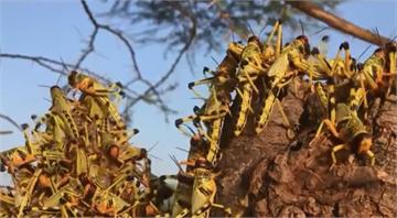 用「吃」來除蟲 肯亞科學家推沙漠蝗蟲大餐