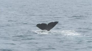 「羅臼町」鯨豚聚集奇景 憂開放捕鯨衝擊觀光
