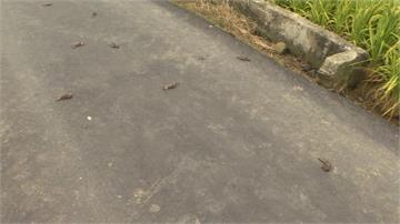 驚!大溪稻田邊都是鳥屍體 農民「毒米粒防吃」恐違法