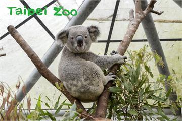 快新聞/木柵動物園無尾熊聽「音樂」長大! 日睡18小時還聽英文廣播