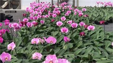 歐美日疫情險峻!蘭花外銷訂單大砍5至7成