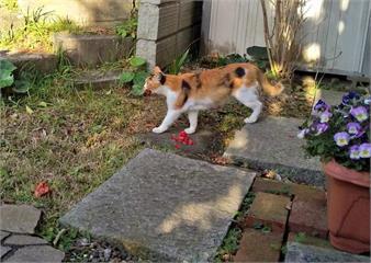 《默默獻花的流浪貓》5年來玄關前不知名的山茶花,原來都是來自這隻浪漫的貓咪❤