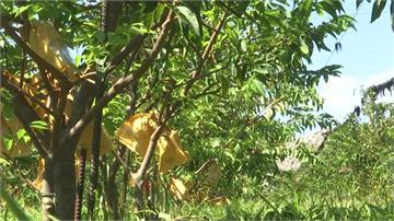 香蕉、釋迦受損嚴重!台東農損破億元