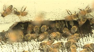蜂毒可治關節炎 還可以讓臉變水潤!?
