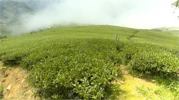 雨量少阿里山春茶產量減  價格上漲至少20%