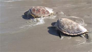 海灘封閉少了人類干擾...泰國蘇梅島海龜產卵數大爆發