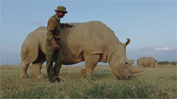 人工授精成功!北非白犀牛復育現曙光