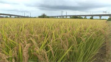 豪雨即將報到!台南農民搶收割稻米