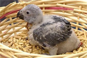 男子摸走鳥店內非洲灰鸚鵡 竟稱是雙胞胎弟弟偷的