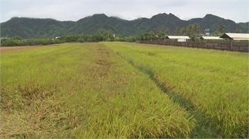 快新聞/豪雨致全台農損破4千萬 一期水稻慘泡湯