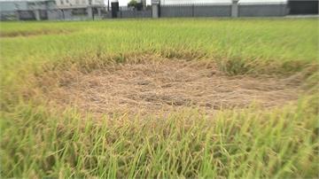 宜蘭出現神秘「麥田圈」農業處:可能為害蟲感染