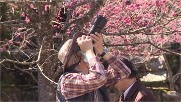 賞櫻季節到了!南投遊樂園八重櫻盛開
