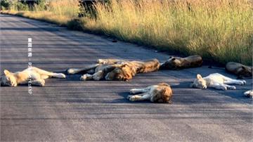 疫情下的受惠者!「優勝美地」動物逛大街 南非獅群躺馬路
