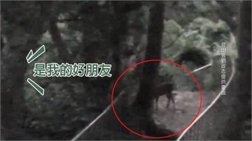 野生水鹿步道傷人 八卦山麓再現蹤