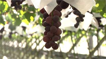 大雨致葡萄裂果 農民試種「藍寶石」葡萄發光
