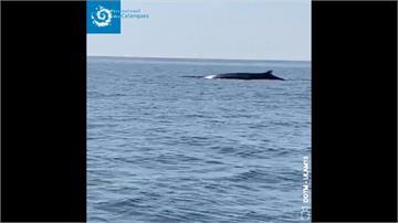 武漢肺炎讓動物重拾活動空間?法國蔚藍海岸現長鬚鯨身影