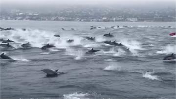 罕見壯觀景象!上百隻海豚跳出海面