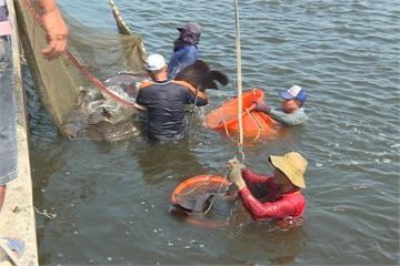 石斑魚也有保單!連續低於10度啟動寒害理賠