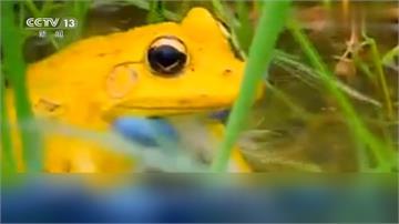 金蛙現身!雄性印度虎紋蛙變「金黃色」求偶