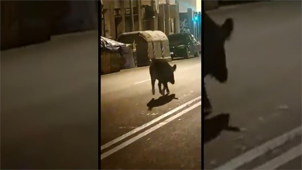 換成人類被關在家!西班牙野生動物反撲「逛大街」