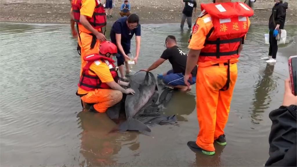 小抹香鯨擱淺桃園觀音海灘 海巡搶救後今野放基隆外海