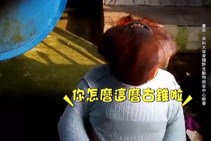 天冷保暖 紅毛猩猩克雷大秀穿衣技巧
