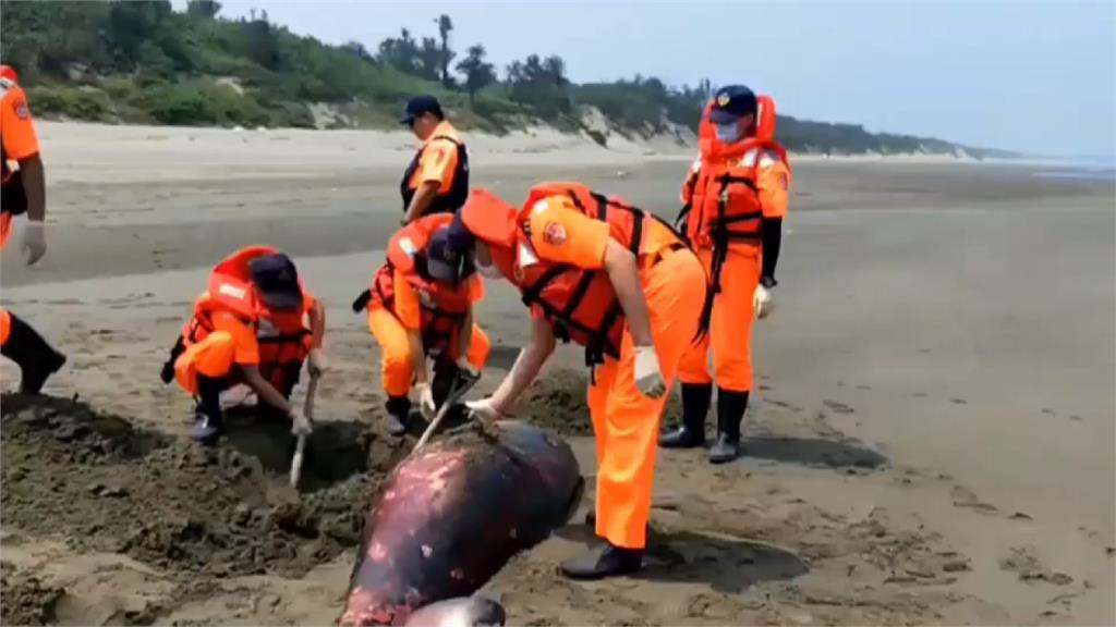 苗栗海域一週內2起鯨豚擱淺死亡 專家將釐清死因