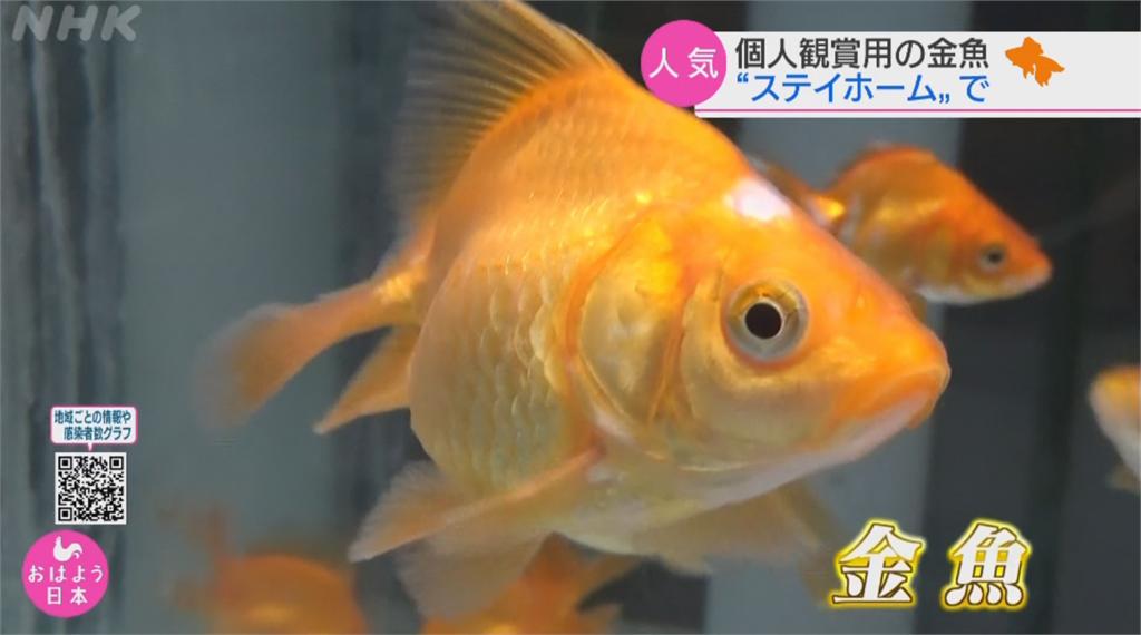 日盂蘭盆連假7成宅在家 觀賞用金魚意外熱銷
