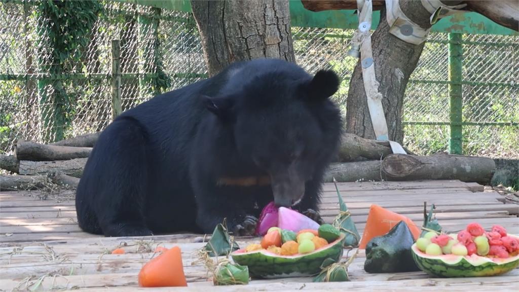 萌翻!台灣黑熊搶先過端午節 應景吃冰粽