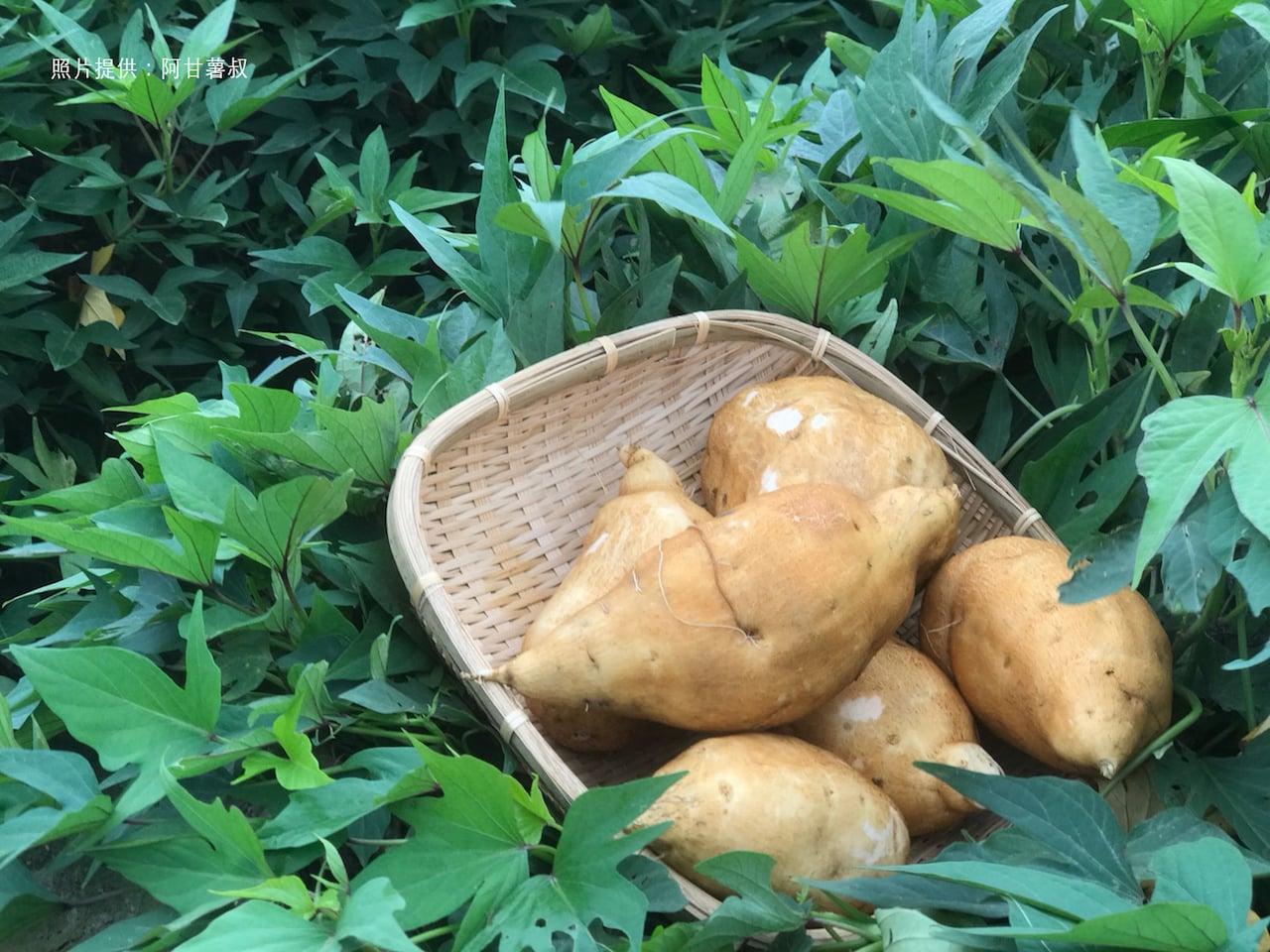台灣精神農作物 「番薯」身世大解密