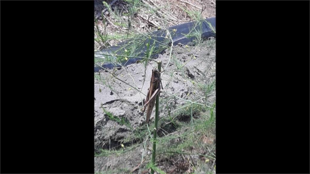 農民拍到本土「條背土蝗」!專家籲勿慌張:非群聚蝗蟲