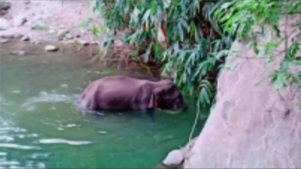懷孕母象吃到鞭炮鳳梨 口中爆開一屍兩命