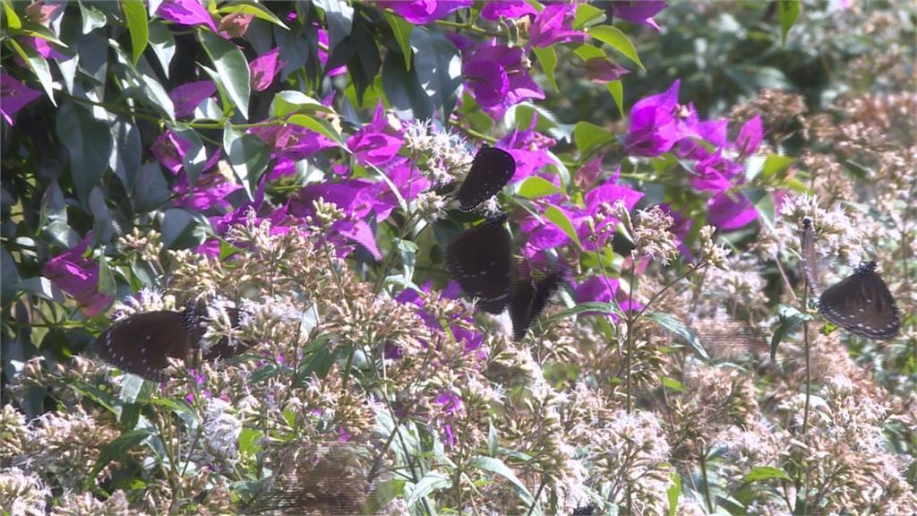 葉匡時探訪茂林區部落 目睹紫斑蝶奇觀