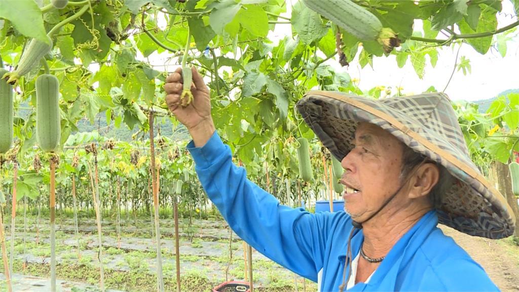 豪雨干擾授粉!南投魚池絲瓜產量減少60%