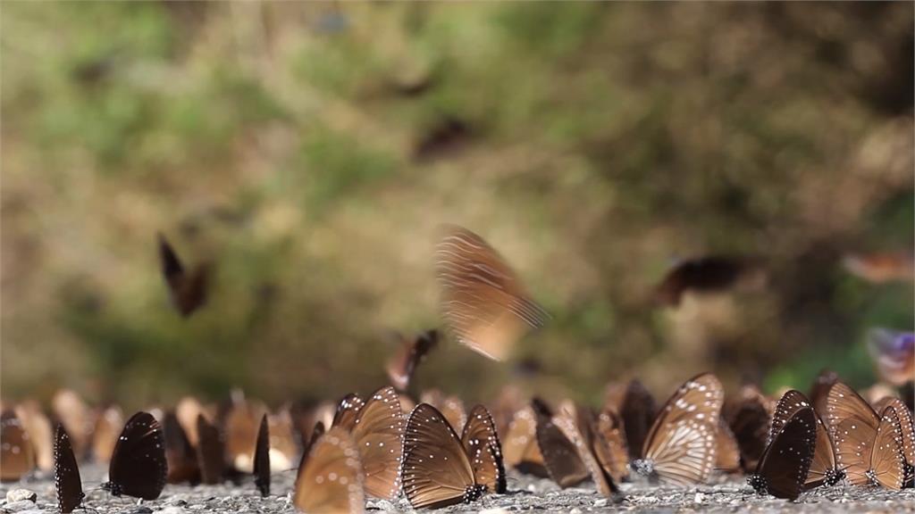 保育台灣紫斑蝶 盼與墨西哥締結姐妹谷
