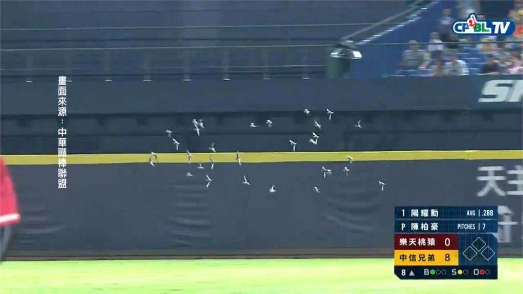 球賽正精采 飛來不速之客 群鳥低空盤旋