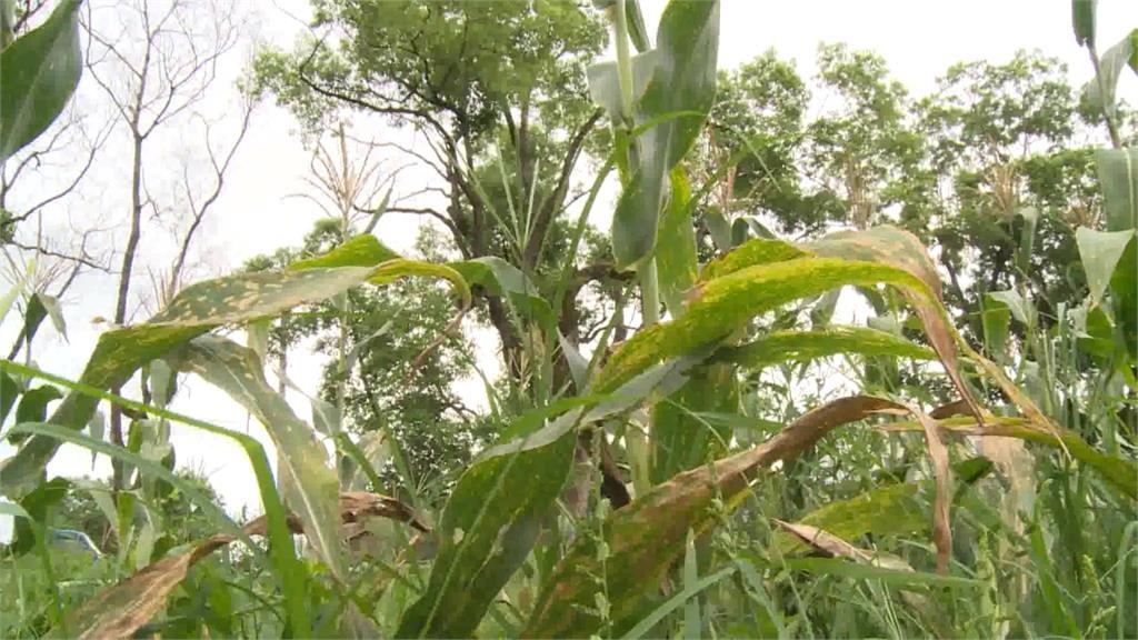 秋行軍蟲天敵 花蓮糖廠培育大量「赤眼卵蜂」